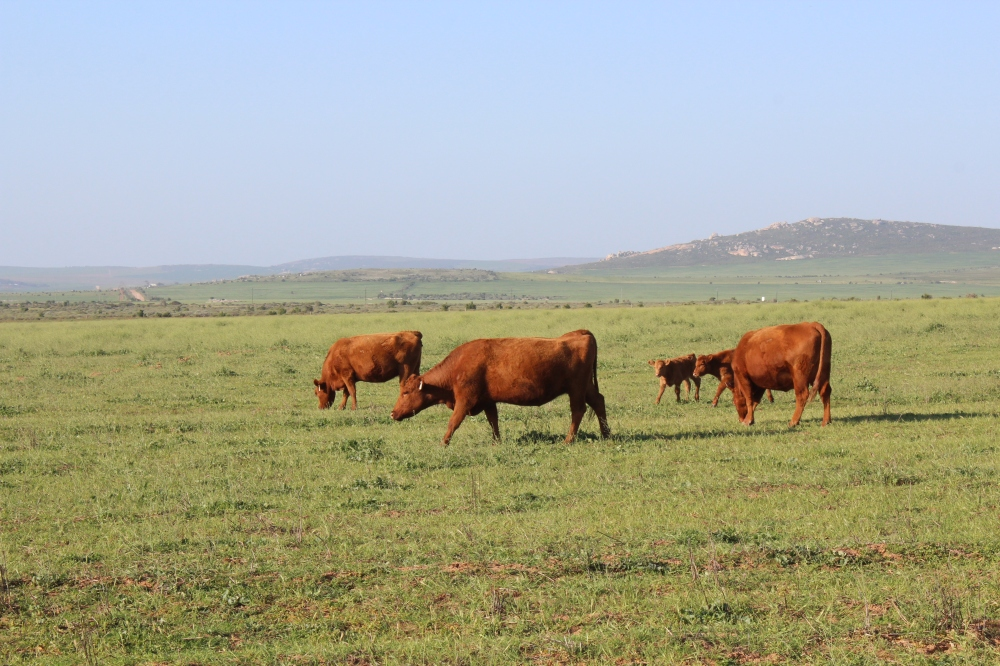 Beautiful cows in Paternoster