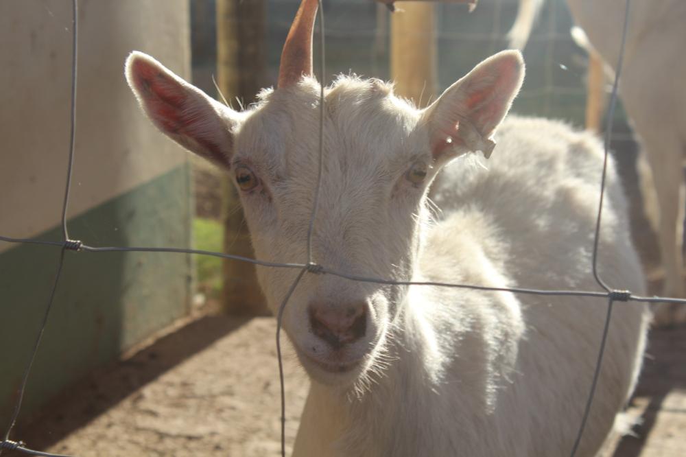 Goats....goats...goats...
